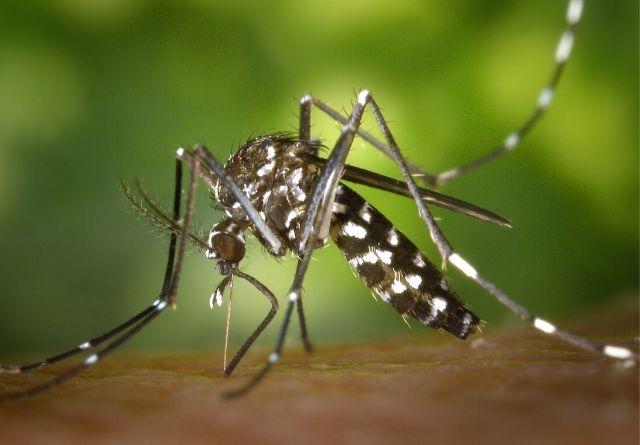 Todos hemos sufrido alguna vez la picadura del mosquito tigre